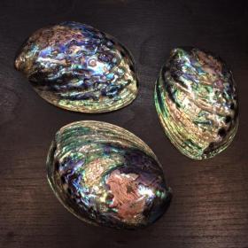 Coquillage Abalone Paua