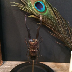 Scarab under a globe: Cyclommatus Metallifer Finae