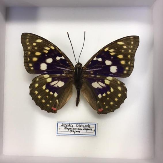Boite entomologique fond blanc - Sasakia Charonda