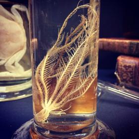 Flûte Muséum: Comatule