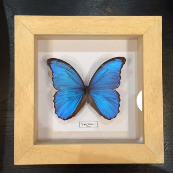 Cadre Entomologique Morpho Didius