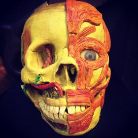 Cire Anatomique: écorché d'un crâne humain - Céroplastie