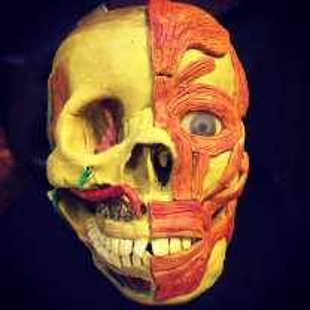 Cire Anatomique: écorché d'un crâne humain