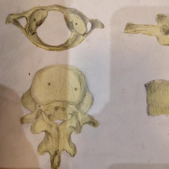 Etude Anatomique au fusain - Vertèbres