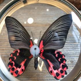 Loupe Naturaliste Papilio Rumanzovia
