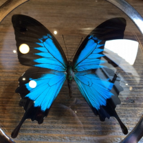 Loupe Naturaliste Papilio Ulysses