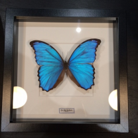 Entomological frame - Morpho Didius