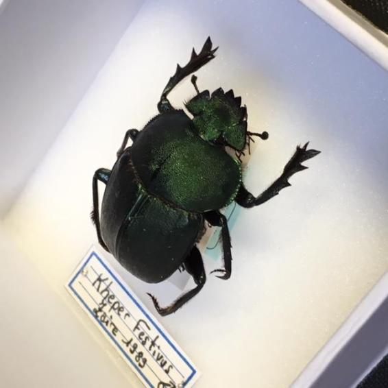 Boite entomologique scarabée - Kheper Festivus