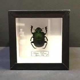 Entomology Box Scarab - Kheper Festivus