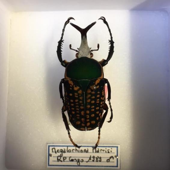 Boite entomologique scarabée - Megalorrhina Harrisi