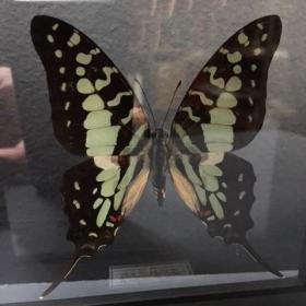 Transparent Entomological frame - Graphium Antheus