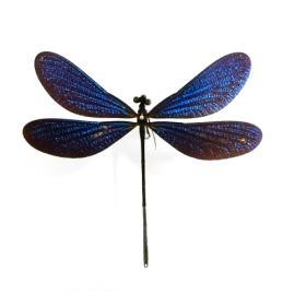 Cadre Entomologique Transparent - Libellule