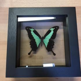 Transparent Entomological frame - Papilio Phorcas
