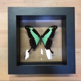 Cadre Entomologique Transparent - Papilio Phorcas