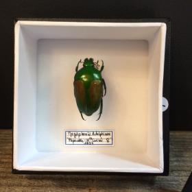 Entomology Box Scarab - Megaphonia Adolphinae