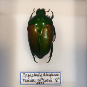 Boite scarabée - Megaphonia Adolphinae