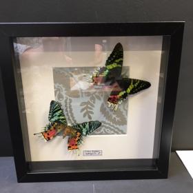 Cadre Entomologique Baroque Urania Riphéus
