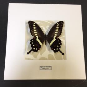 Entomological frame :Papilio Erithonioides