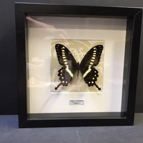 Cadre Entomologique Baroque Papilio Erithonioides