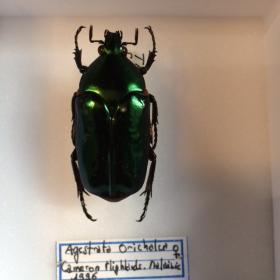 Entomology Box Scarab - Agestrata Orichalcea