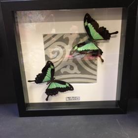 Entomological frame :Urania Riphéus