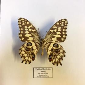 Cadre Entomologique - Papilio Erithonioides