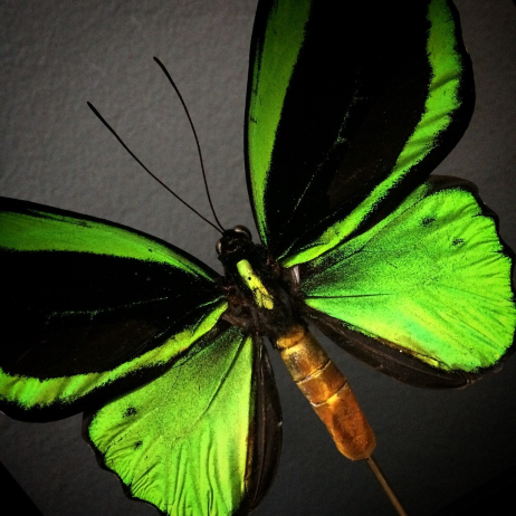 Boite vitrée sur pied - Ornithoptera Priamus Poséidon