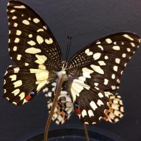 Petite cloche à papillon: Demodocus