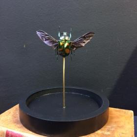 Petite cloche à scarabée: Jumnos Ruckeri (déployé)