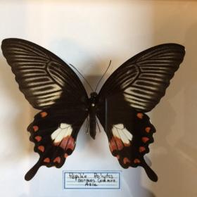 Cadre Entomologique - Papilio Polytes