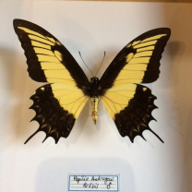 Cadre caisson Papilio Androgeus