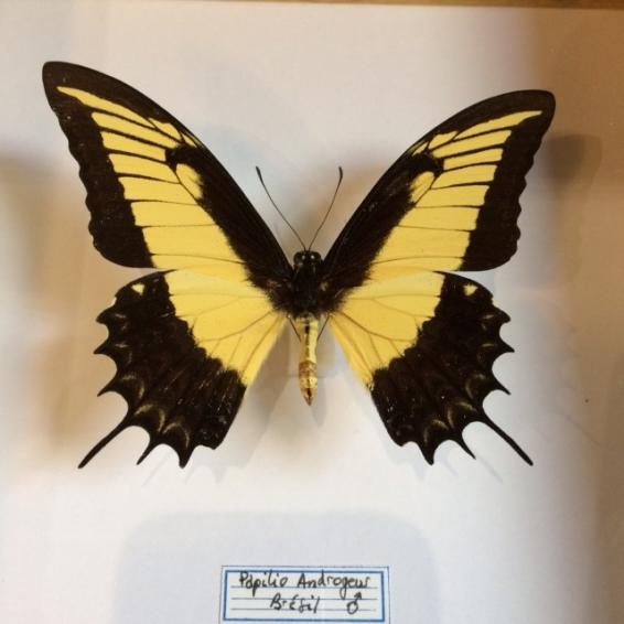 Entomological Frame: Papilio Androgeus