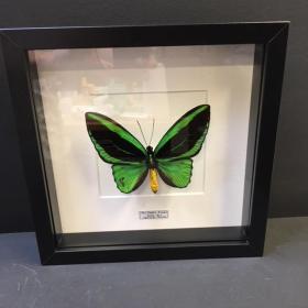 Cadre Entomologique Ornithoptera Priamus Poséidon