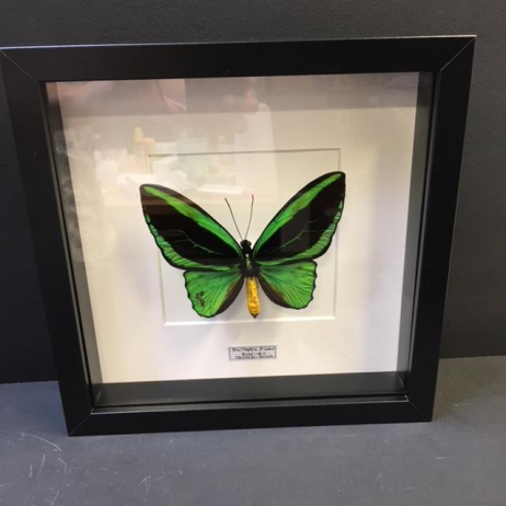 Entomological Frame: New Guinea Birdwing