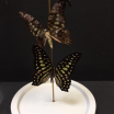Flight of African monarch -Graphium Agamemnon