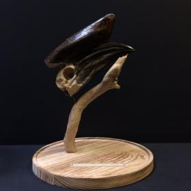 Crâne de Calao à casque noir d'Afrique monté sous cloche