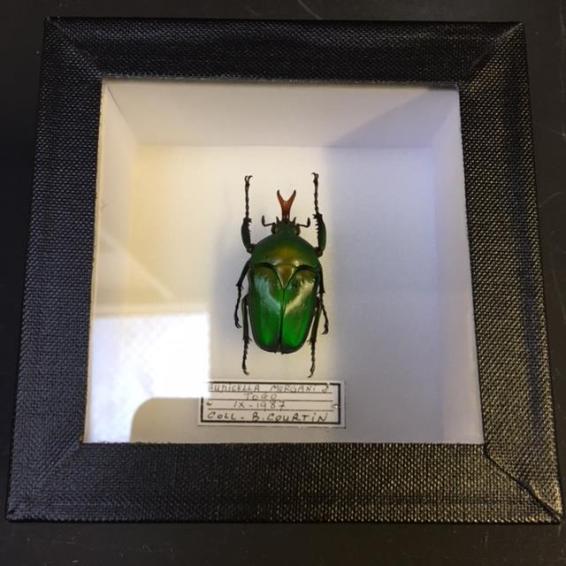 Boite scarabée - Eudicella Morgan