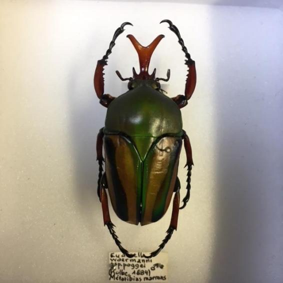 Boite scarabée - Eudicella Woermanni
