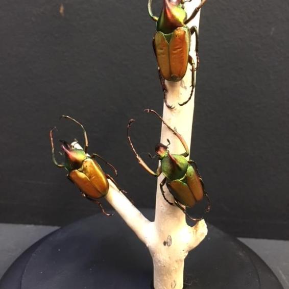 Scarabées sur branche sous cloche: Theodosia rodorigezi