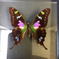Transparent Entomological frame - Purple Spotted Swallowtail