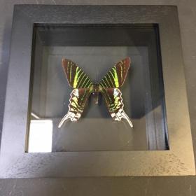 Transparent Entomological frame - Urania Leilus