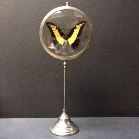 Loupe Naturaliste Papilio Thoas