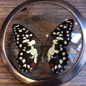 Loupe Naturaliste Papilio Erithonioides