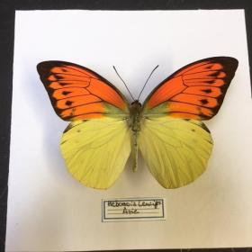 Cadre caisson Entomologique - Hebomoia Leucippe