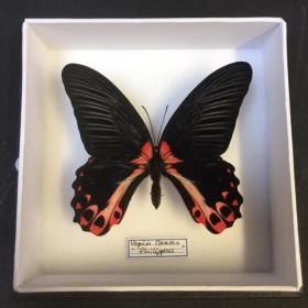 Boite entomologique - Papilio Memnon