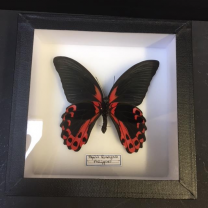 Entomological Box - Papilio Rumanzovia