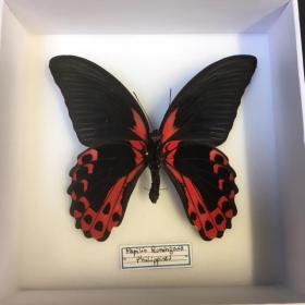 Boite entomologique fond blanc - Papilio Rumanzovia