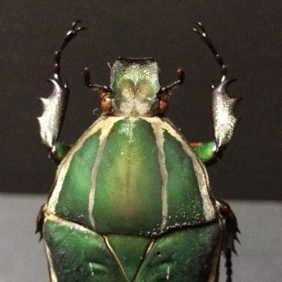 Scarab under a bell : Mecynorhina Torquata