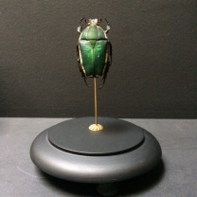 Scarabée sous cloche Mecynorhina Torquata