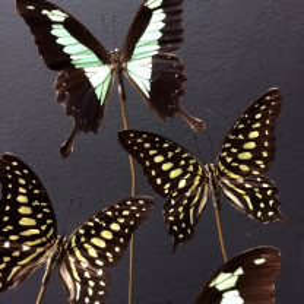 Flight of butterflies Graphium and Papilio Phorcas